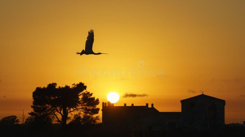Евроазиатское летание leucorodia Platalea колпицы на заходе солнца стоковая фотография rf