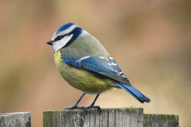 Евроазиатское caeruleus Cyanistes голубой синицы отдыхая на деревянной загородке стоковое фото