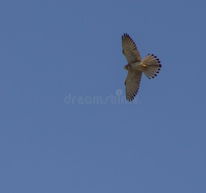 Евроазиатское sparrowhawk витая в небе стоковая фотография rf