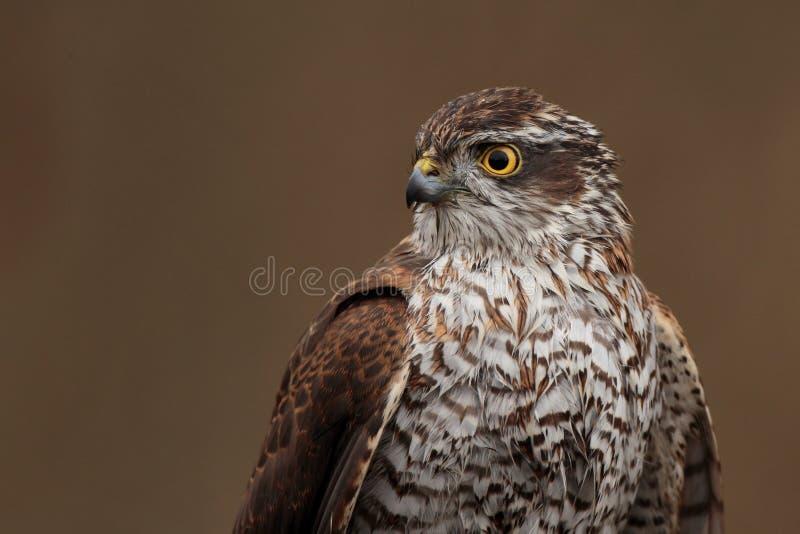 евроазиатское sparrowhawk стоковое фото