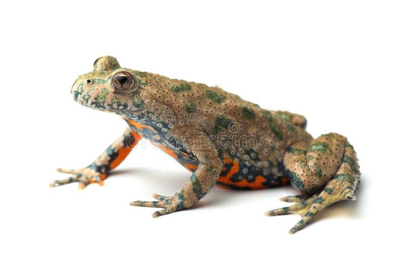 Европеец Огн-bellied жаба (bombina Bombina) на белизне стоковая фотография