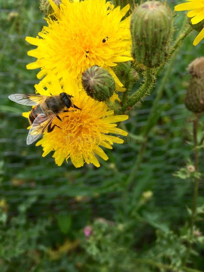 Европеец hoverfly & x28; Tenax& x29 Eristalis; на желтом flowerhead стоковые изображения