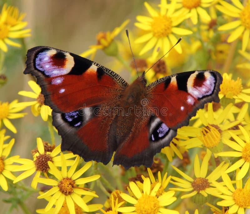 Европейская бабочка павлина, Aglais io стоковое фото rf