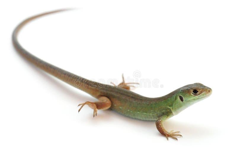 европейская зеленая ящерица стоковое фото rf