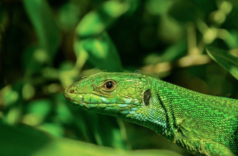 Европейская зеленая ящерица стоковая фотография