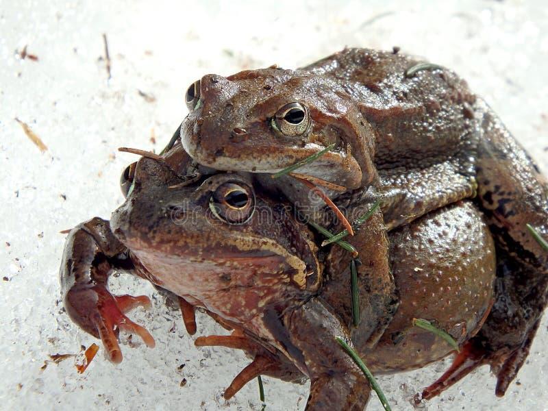 Европейская общая коричневая лягушка стоковые изображения rf