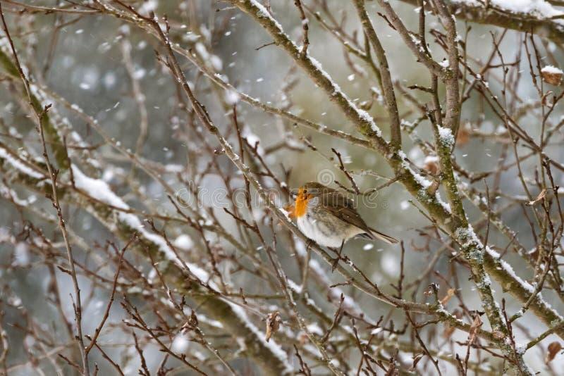 Европейская птица redbreast робина сидя на ветви дерева совсем одном w стоковое фото rf