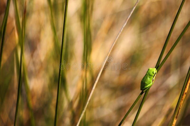 Европейская древесная лягушка, arborea Hyla, славная зеленая лодкамиамфибия сидя на траве с в средой обитания природы, Франции стоковая фотография