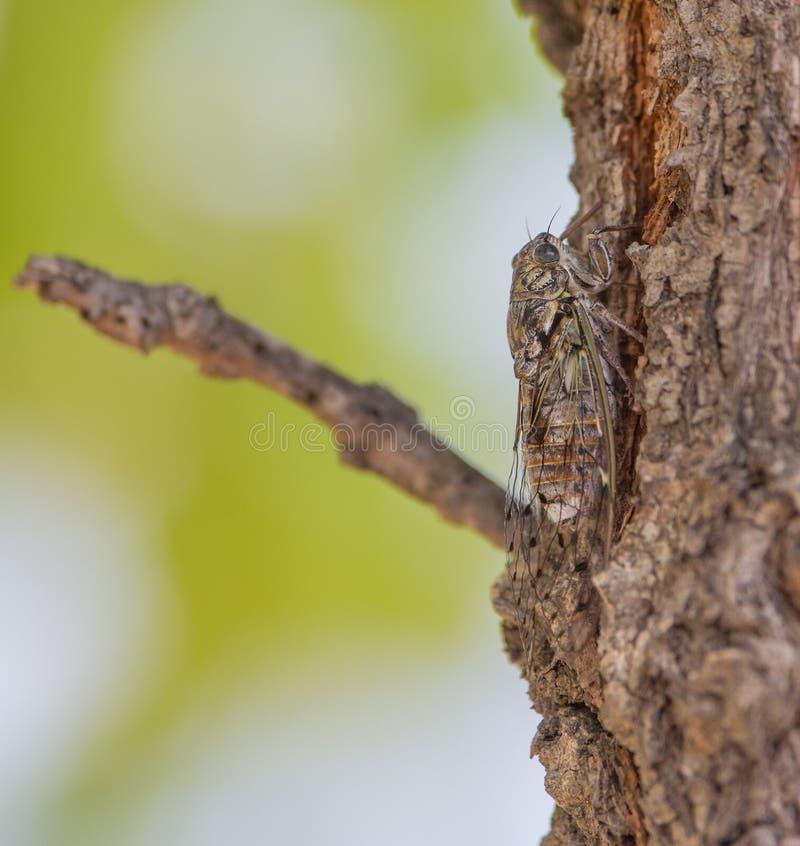 Европейская цикада на журнале стоковая фотография