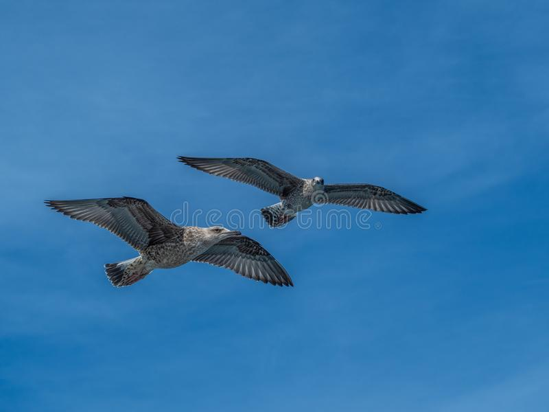 Европейская чайка сельдей, argentatus Larus Overwintering в Галиции, Испания стоковые фото