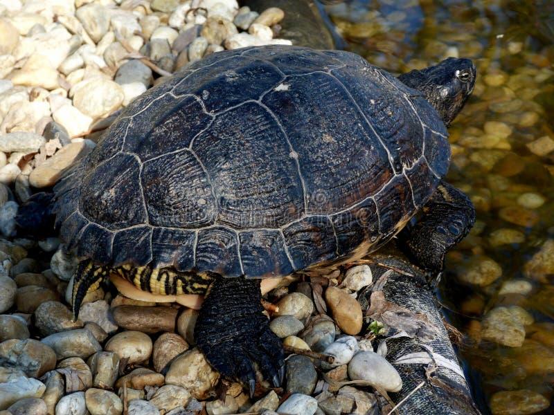 Европейская черепаха пруда загорая на береге стоковое изображение rf