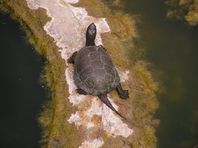 Европейская черепаха пруда стоковое изображение rf