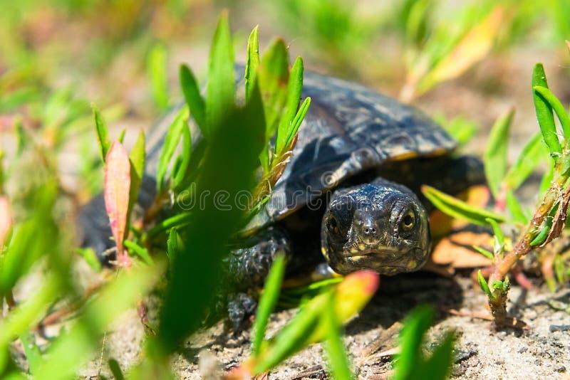 Европейская черепаха фунта стоковые фотографии rf
