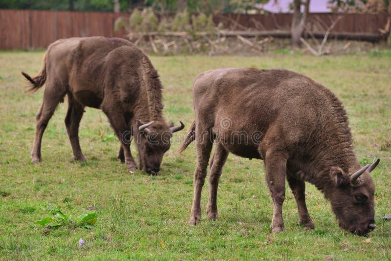 Европейские бизоны (bonasus бизона) стоковое изображение rf