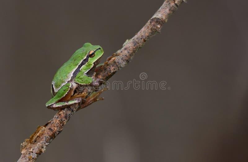Европейские древесная лягушка или arborea Hyla на ветви стоковая фотография