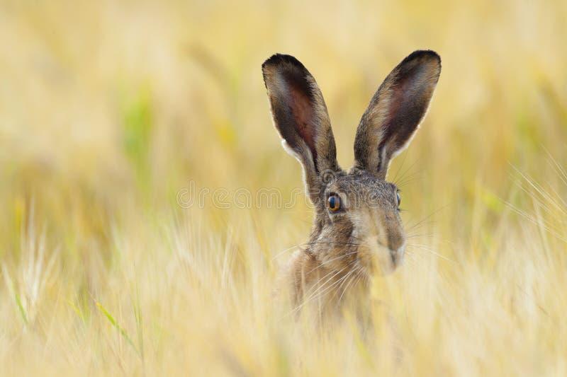 Европейские коричневые зайцы на аграрном поле летом стоковое изображение