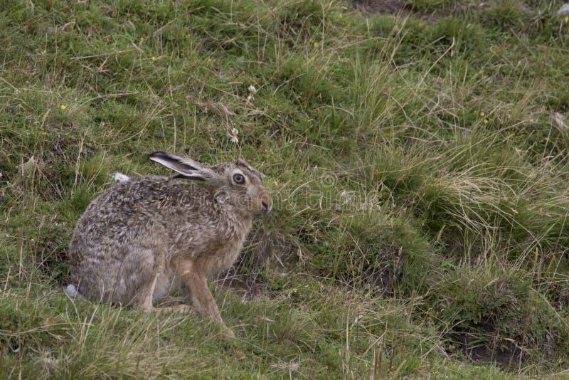 Европейские коричневые зайцы, усаживание, кладя и бежать среди высокорослой травы стоковые фото