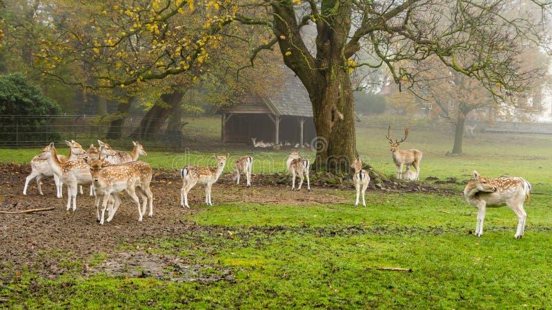 Европейские олени косуль стоковое фото rf