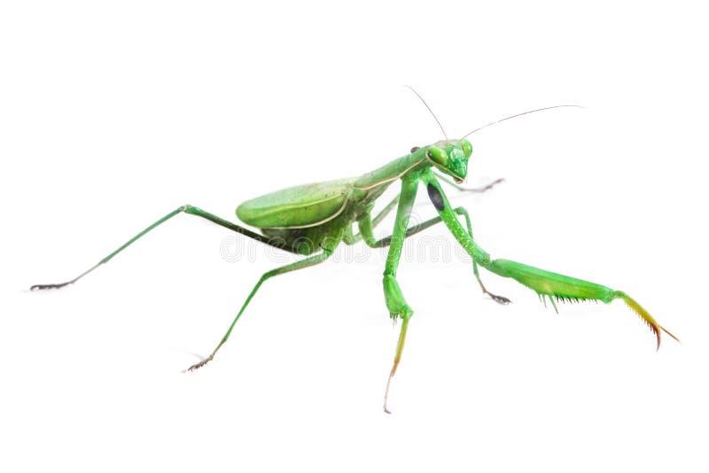 Европейские Mantis или богомол на изолированной белизне стоковое фото rf