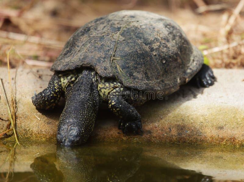 Европейские orbicularis Emys черепахи пруда стоковые фотографии rf