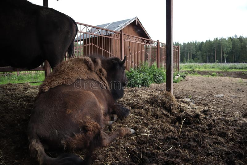 Европейский бизон, Санкт-Петербург, Toksovo Knon бизона леса мужское также как европейские бизон или зубр Латинское имя - bonasus стоковое фото