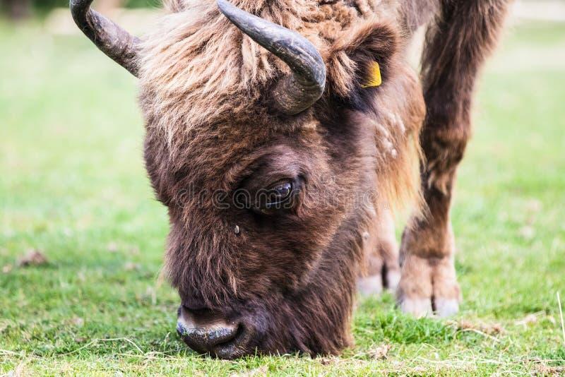 Европейский бизон, также вызвал зубра, млекопитающее Европы самое большое родное стоковые изображения rf