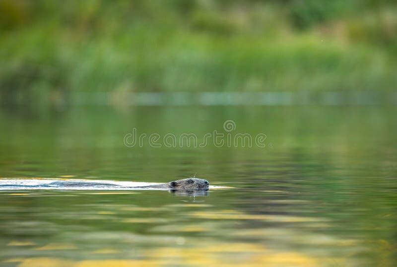 Европейский бобр, волокно рицинуса, плавая в реке стоковые фото