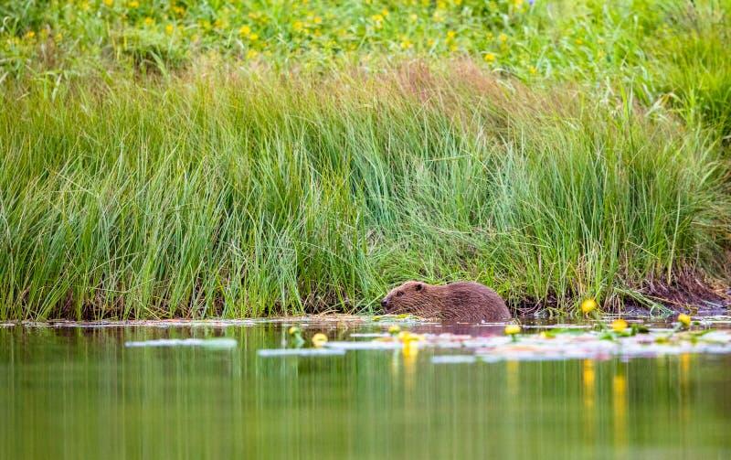 Европейский бобр, волокно рицинуса, сидит в еде реки стоковое изображение