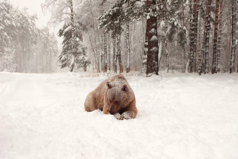 Европейский бурый медведь в лесе зимы стоковые фотографии rf