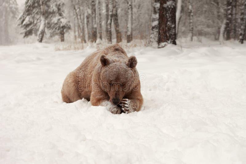 Европейский бурый медведь в лесе зимы стоковое изображение