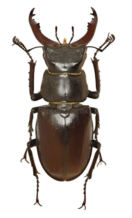 Европейский жук рогача на белой предпосылке стоковое изображение