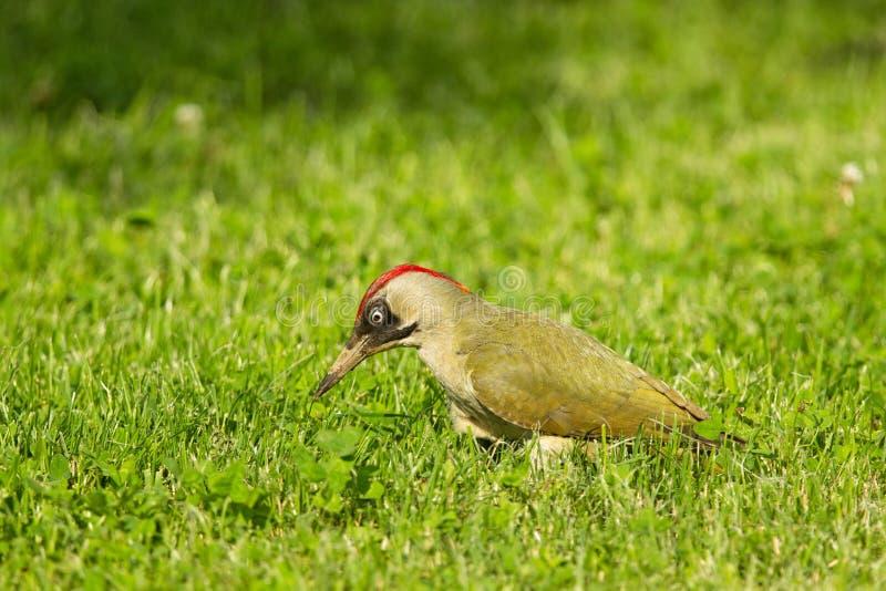 Европейский зеленый woodpecker (viridis Picus) стоковые фото