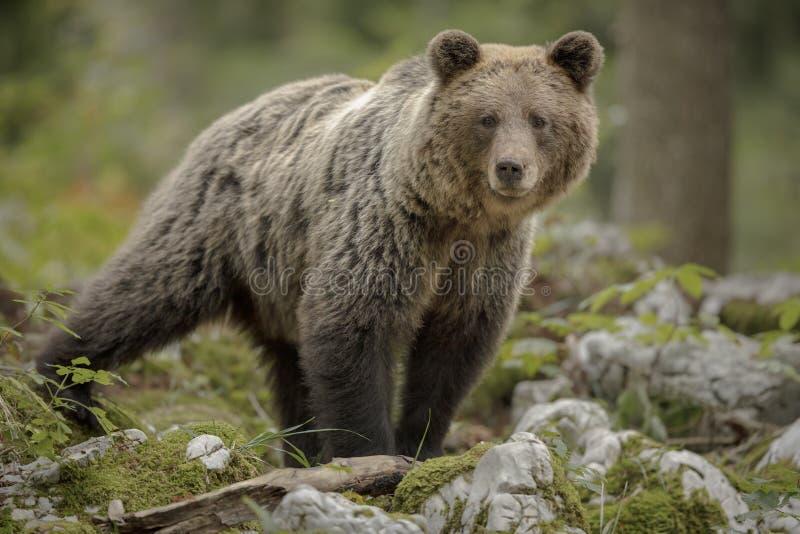 Европейский коричневый медведь наблюдает за опасностью стоковое изображение rf