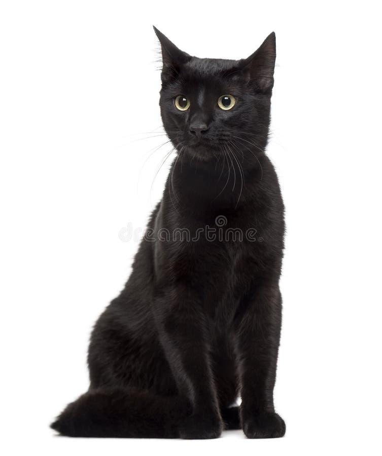 Европейский кот изолированный на белизне стоковое изображение