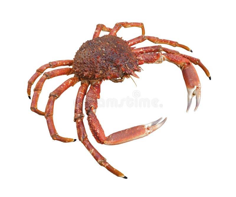 Европейский краб паука стоковое фото