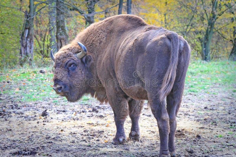 Европейский мужской бизон gazing ОН назад стоковая фотография