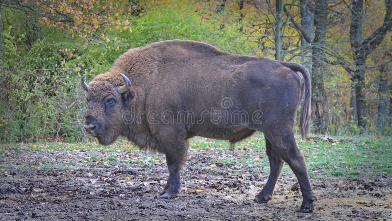 Европейский мужской бизон gazing стоковые фотографии rf