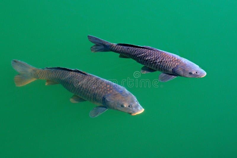 Европейский общий карп, Cyprinus carpio, широко распространенная пресноводная рыба в зеленом открытом море Карп в среду обитания, стоковое фото rf
