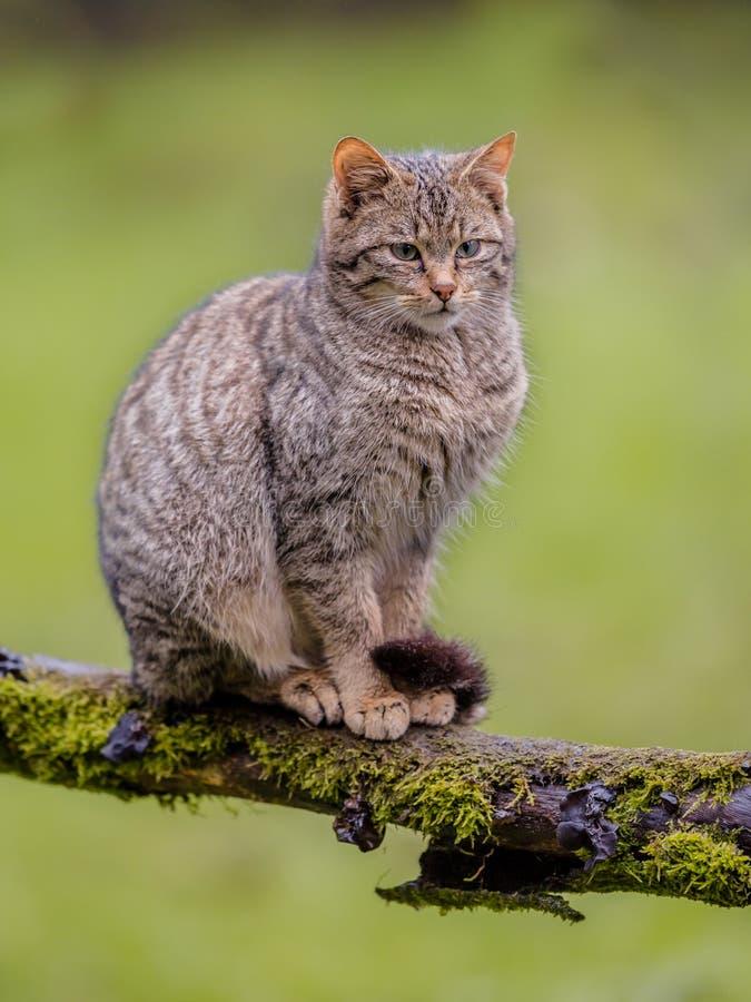 Европейский одичалый кот сидя на ветви стоковая фотография rf