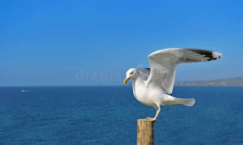 Европейский окунь чайки сельдей на журнале стоковые фотографии rf