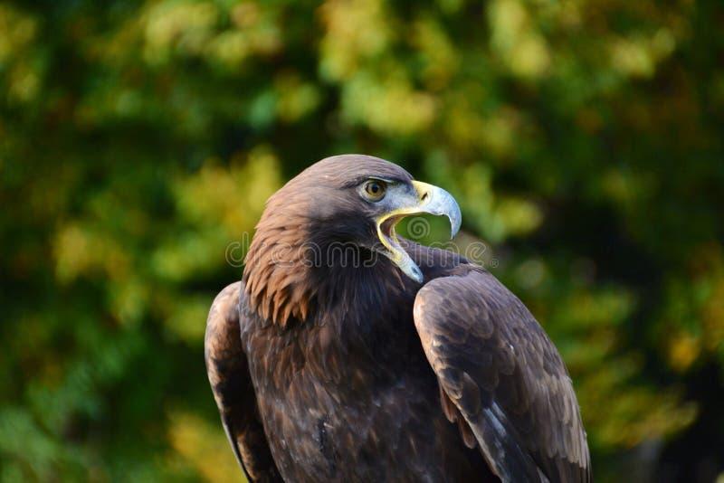 Европейский орел стоковая фотография