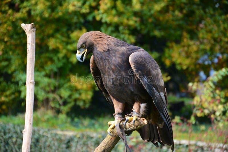 Европейский орел стоковые фотографии rf
