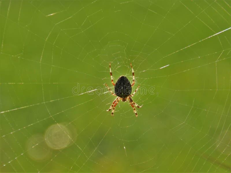 Европейский паук сада в сети стоковые фотографии rf