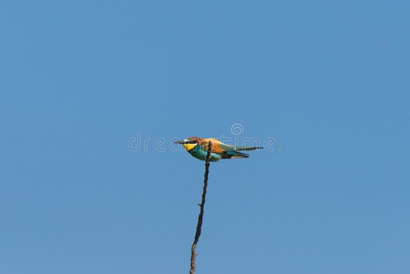 Европейский ролик, птица стоковые фото