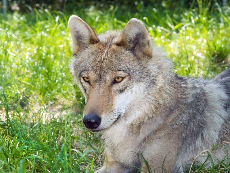 Download Европейский серый волк (волчанка волчанки волка) Стоковое Изображение - изображение насчитывающей венгрия, портрет: 41661017