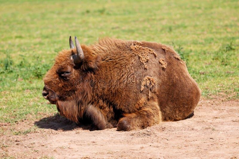Европейский также вызванный бизон, зубром стоковые изображения rf