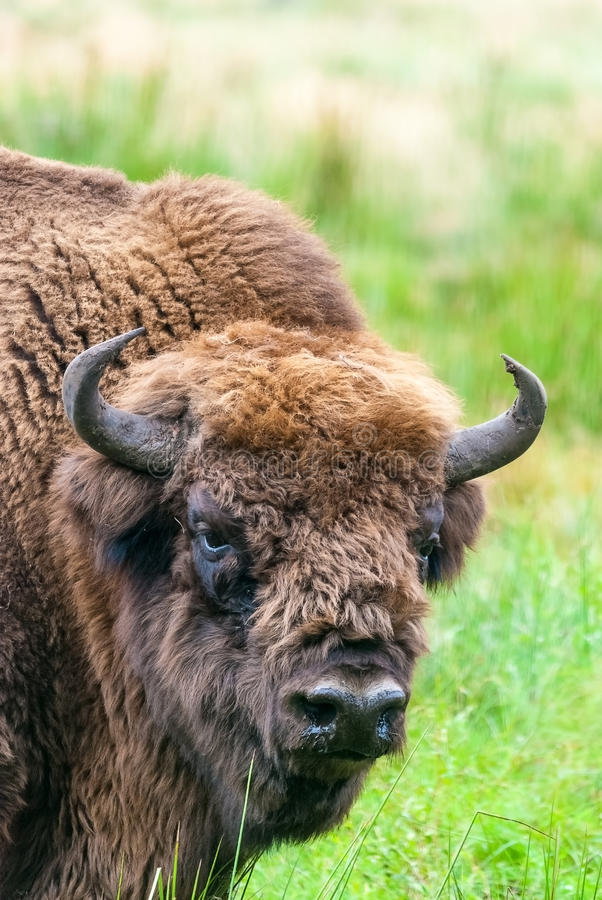 Европейский тур бизона в Belovezhskaya Puscha стоковые изображения rf
