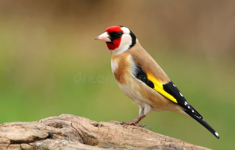 Европейский щегол щегла goldfinch стоковые фото