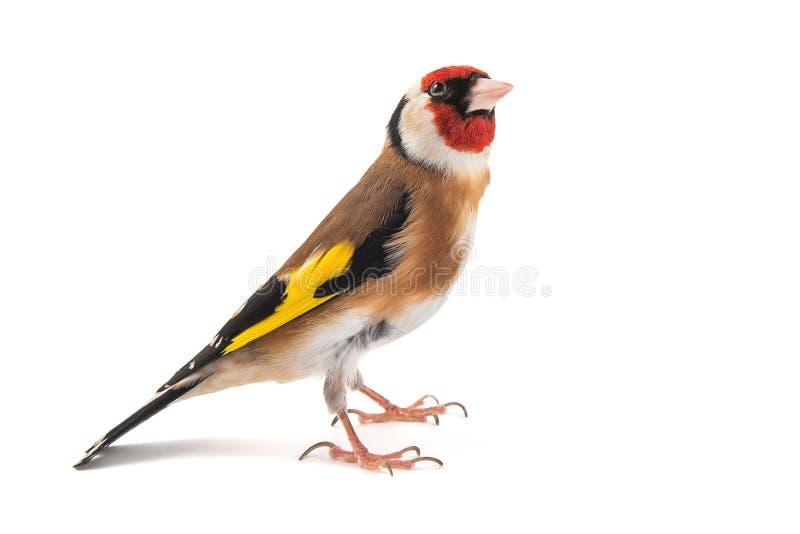 Европейский Goldfinch, щегол щегла, положение, изолированное на белой предпосылке стоковое фото rf