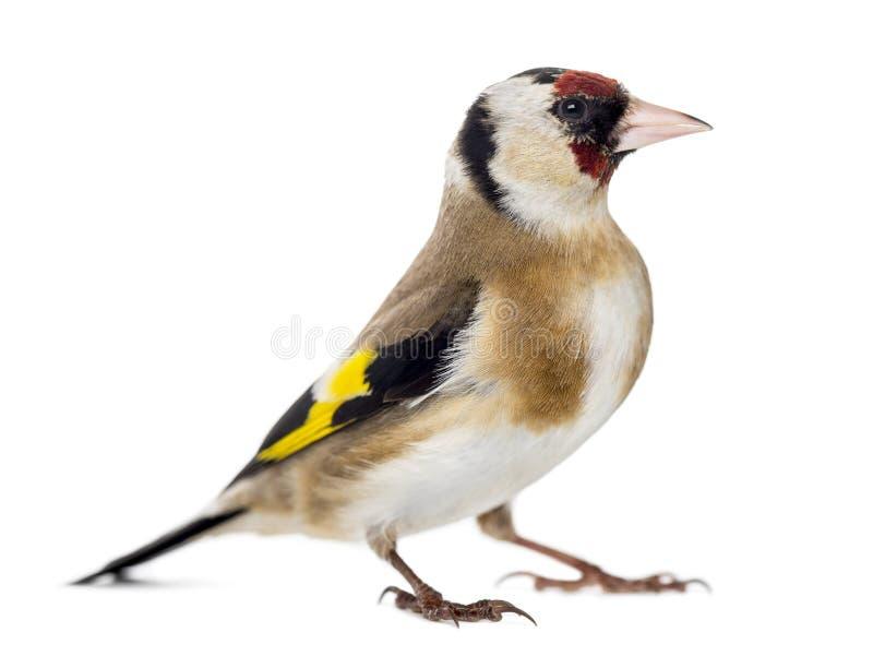 Европейский Goldfinch, щегол щегла, изолированное положение, стоковая фотография